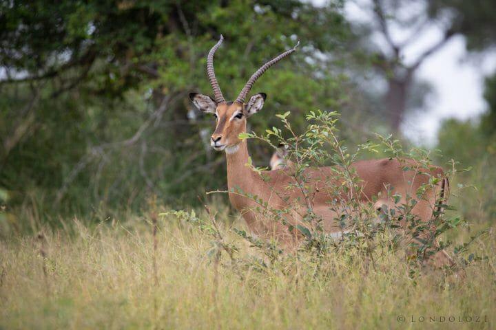 Impala Ewe Horns 2