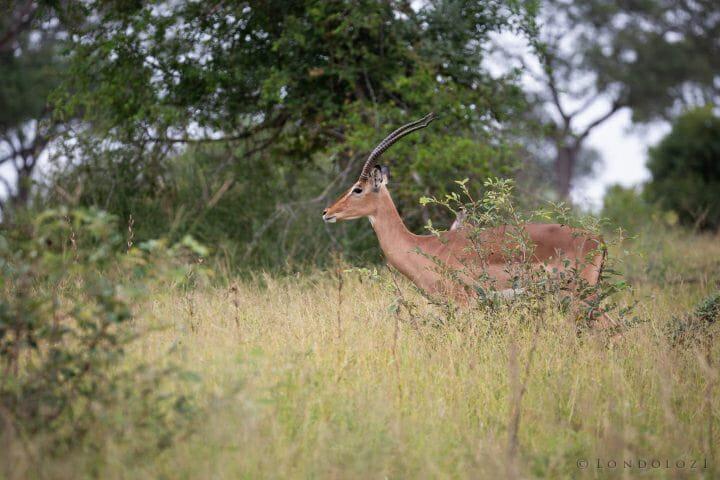 Impala Ewe Horns 3