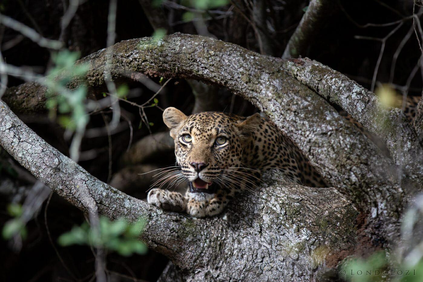 Ndzanzeni Leopard 3