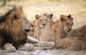 Ntsevu Lion