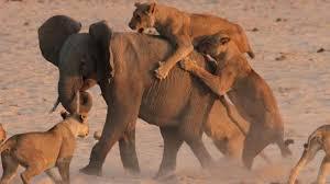 Lions Hunting Elephant