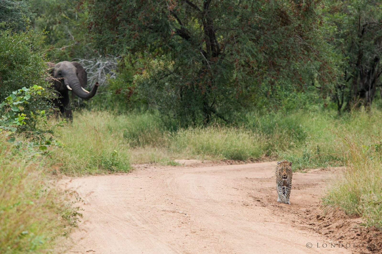 How Do Elephants Respond To Leopards And Lions » Londolozi Blog
