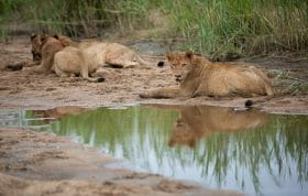 Ntsevu Birmingham Lions Wildebeest Kill 2
