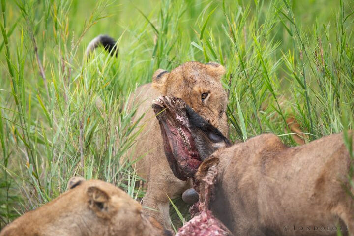 Ntsevu Birmingham Lions Wildebeest Kill 3