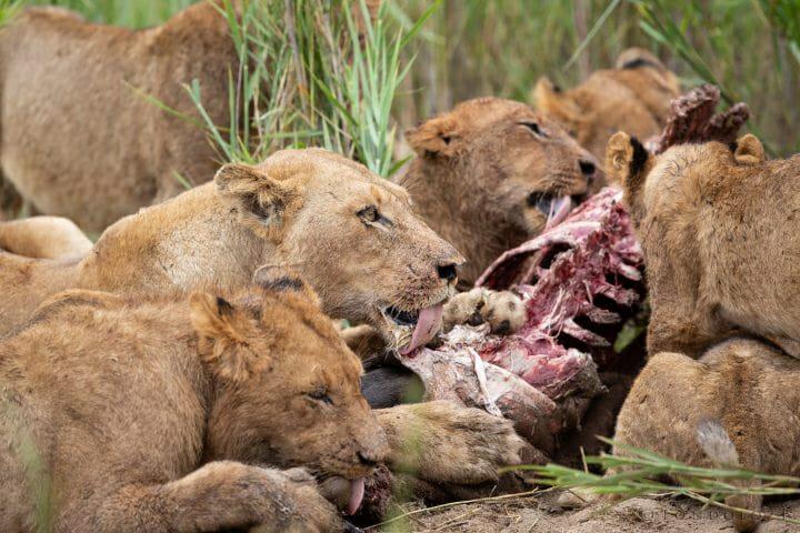 Ntsevu Birmingham Lions Wildebeest Kill 4