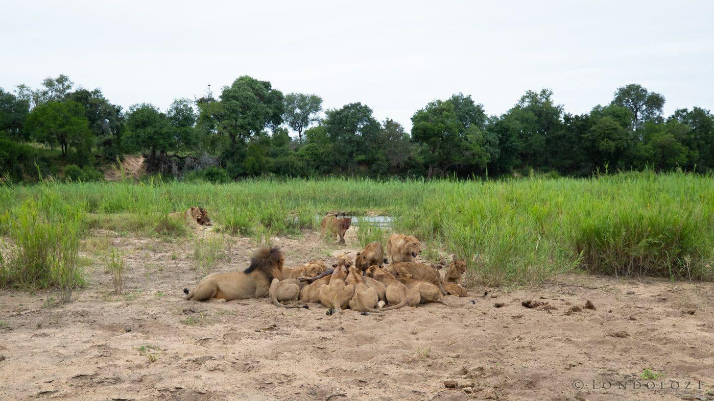 Ntsevu Birmingham Lions Wildebeest Kill Vulture