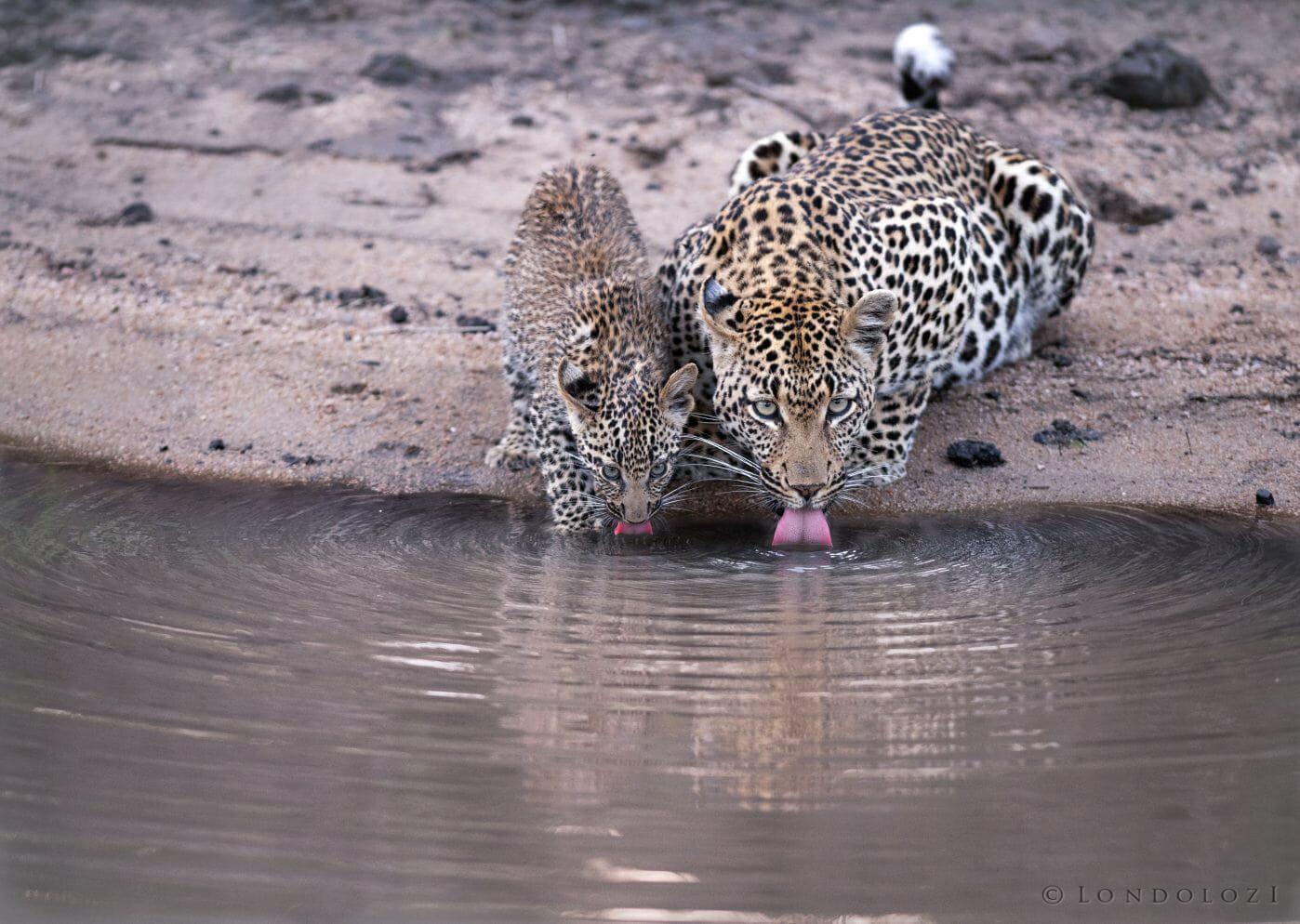 Ingrid Dam And Cub Leopard Ak