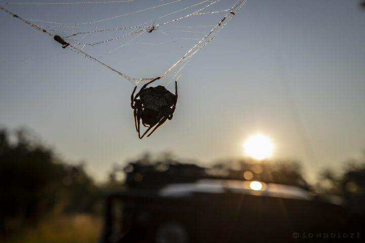 Bark Spider Silhouette