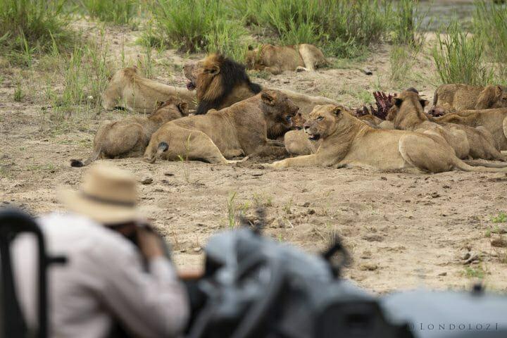 Ntsevu Wildebeest Lions