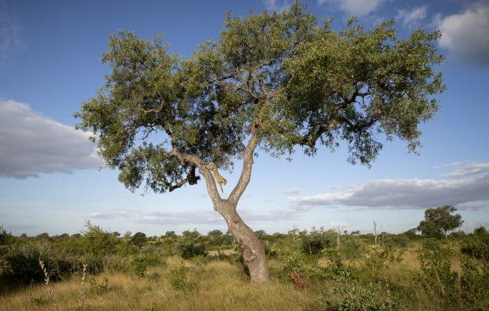 Ximungwe Leopard Marula