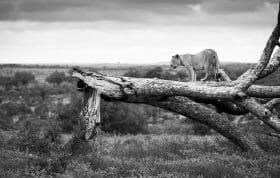 Styx Lion Tree