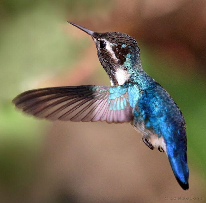Bee Hummingbird Mellisuga Helenae Adult Male In Flight Cropped