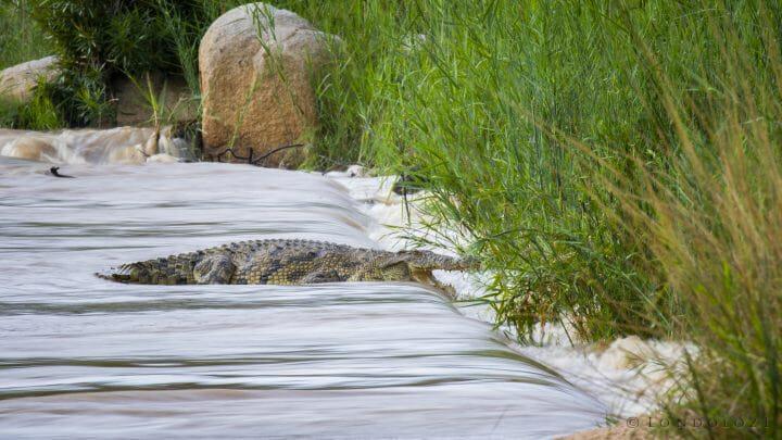 Crocodile Blur