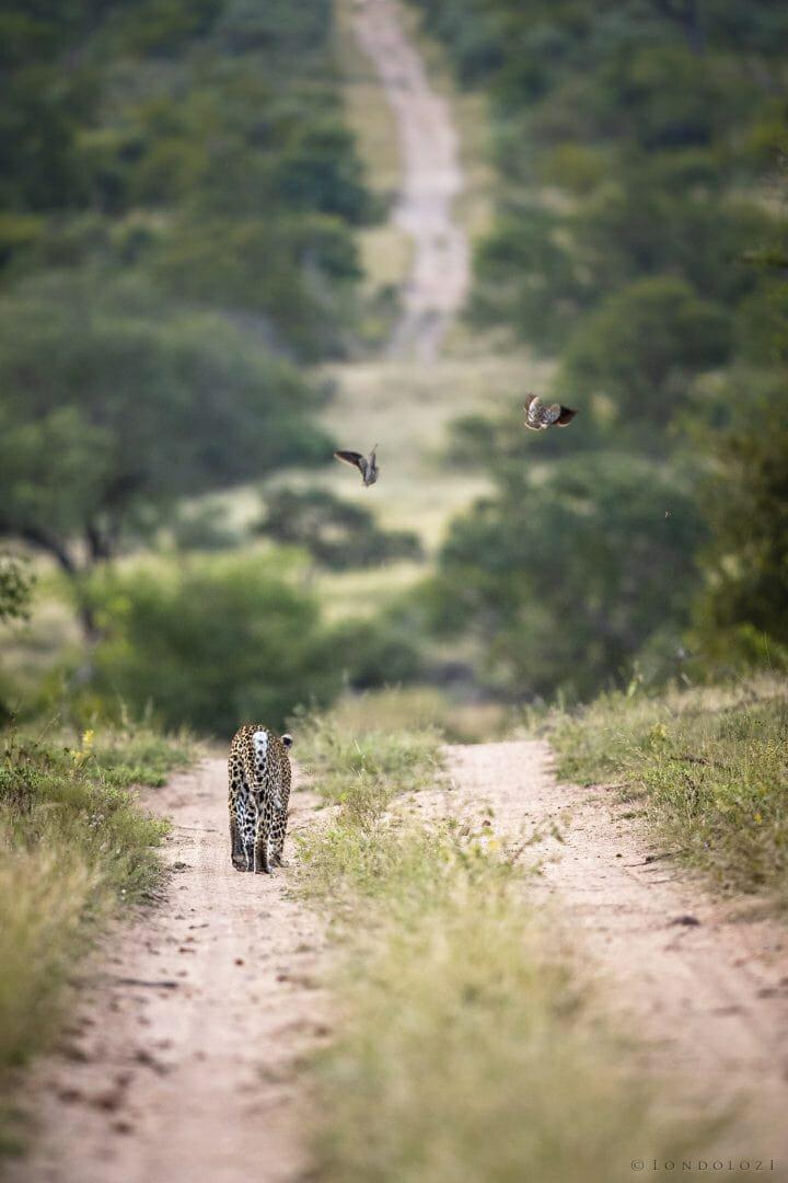 Leopard Sandgrouse