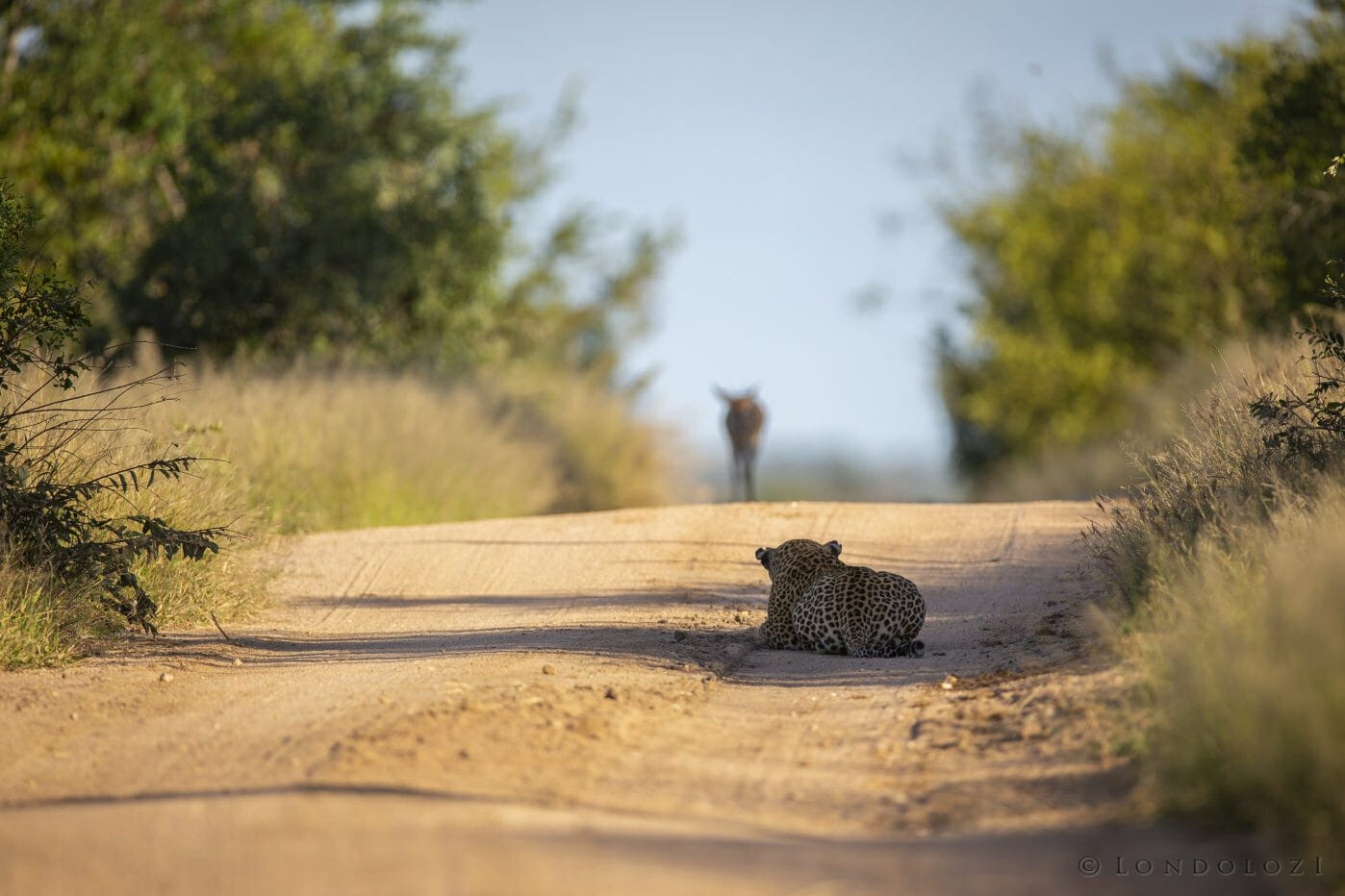 Leopard Senegal Stalk