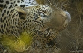 5 5 55 Dudley Leopard