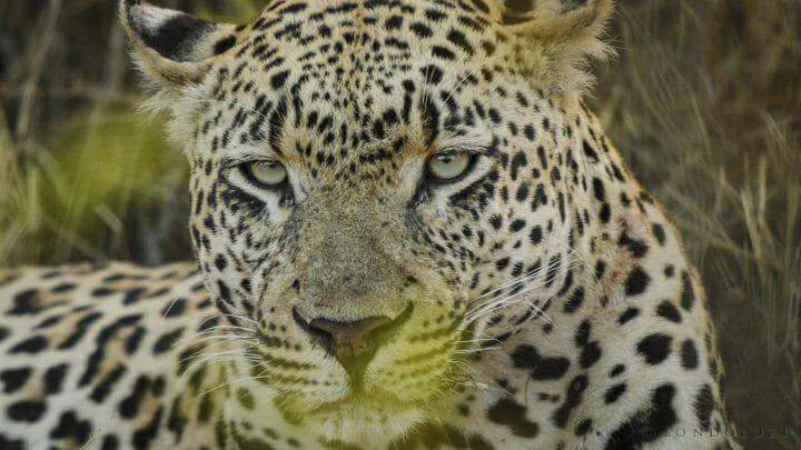 5 5 55 Dudley Leopard Eyes