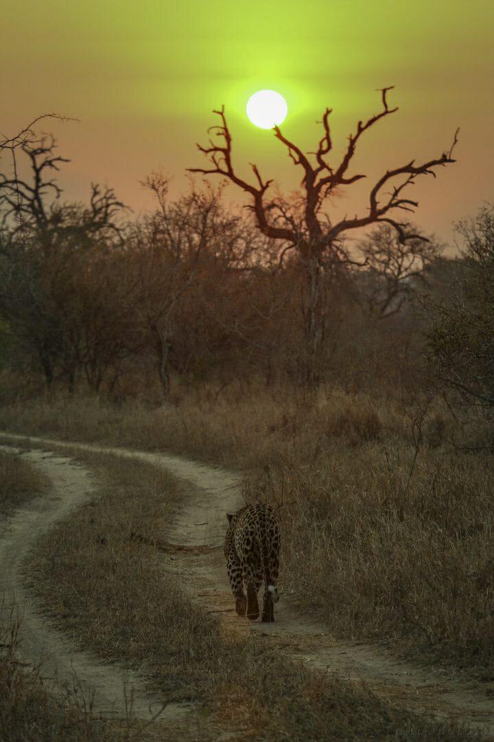 5 5 55 Dudley Leopard Walk