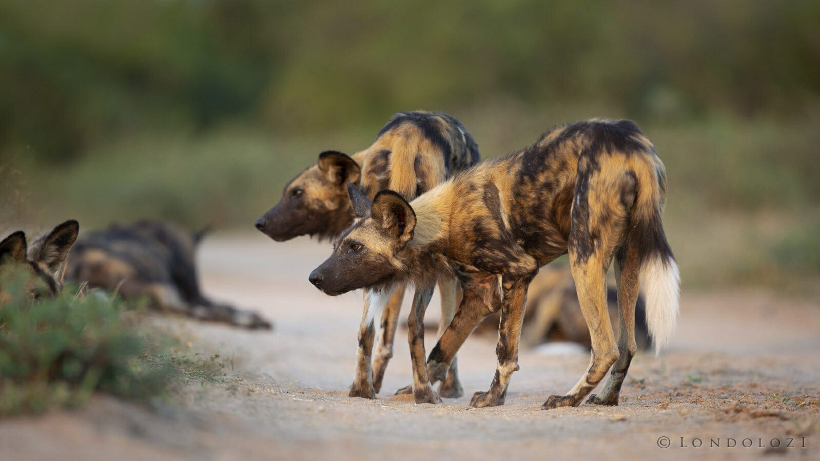 Wild Dog1