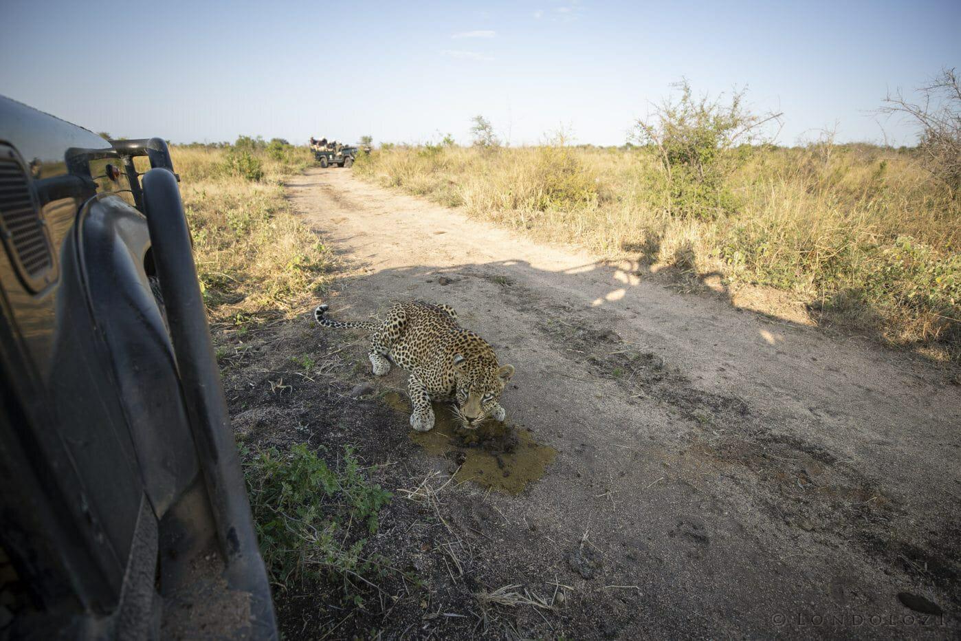 Nweti Leopard