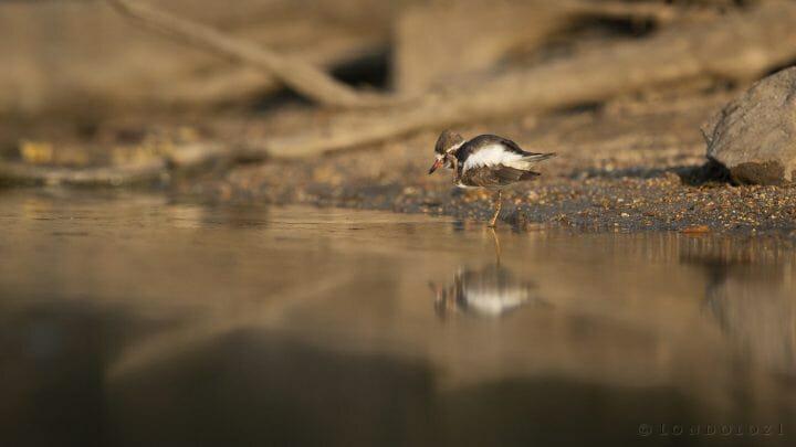Plover Bird