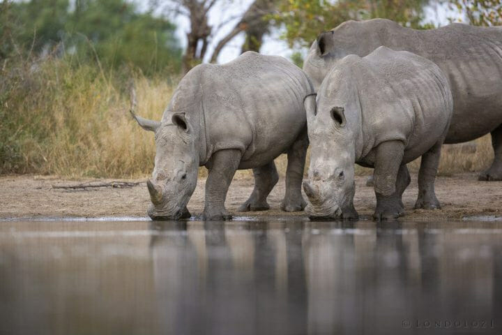 Rhinos Drink