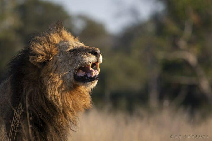 Birmingham Lion Flehmen