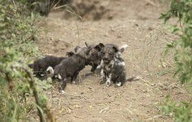 Wild Dog Pup 2