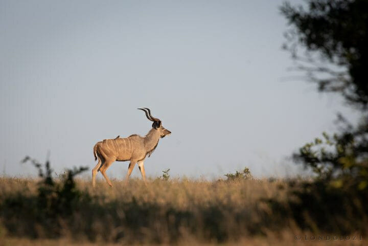 Male Kudu Clear