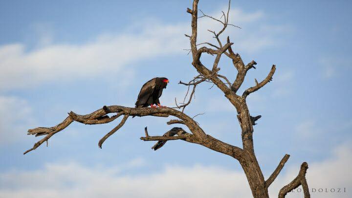 Bateleur Bird