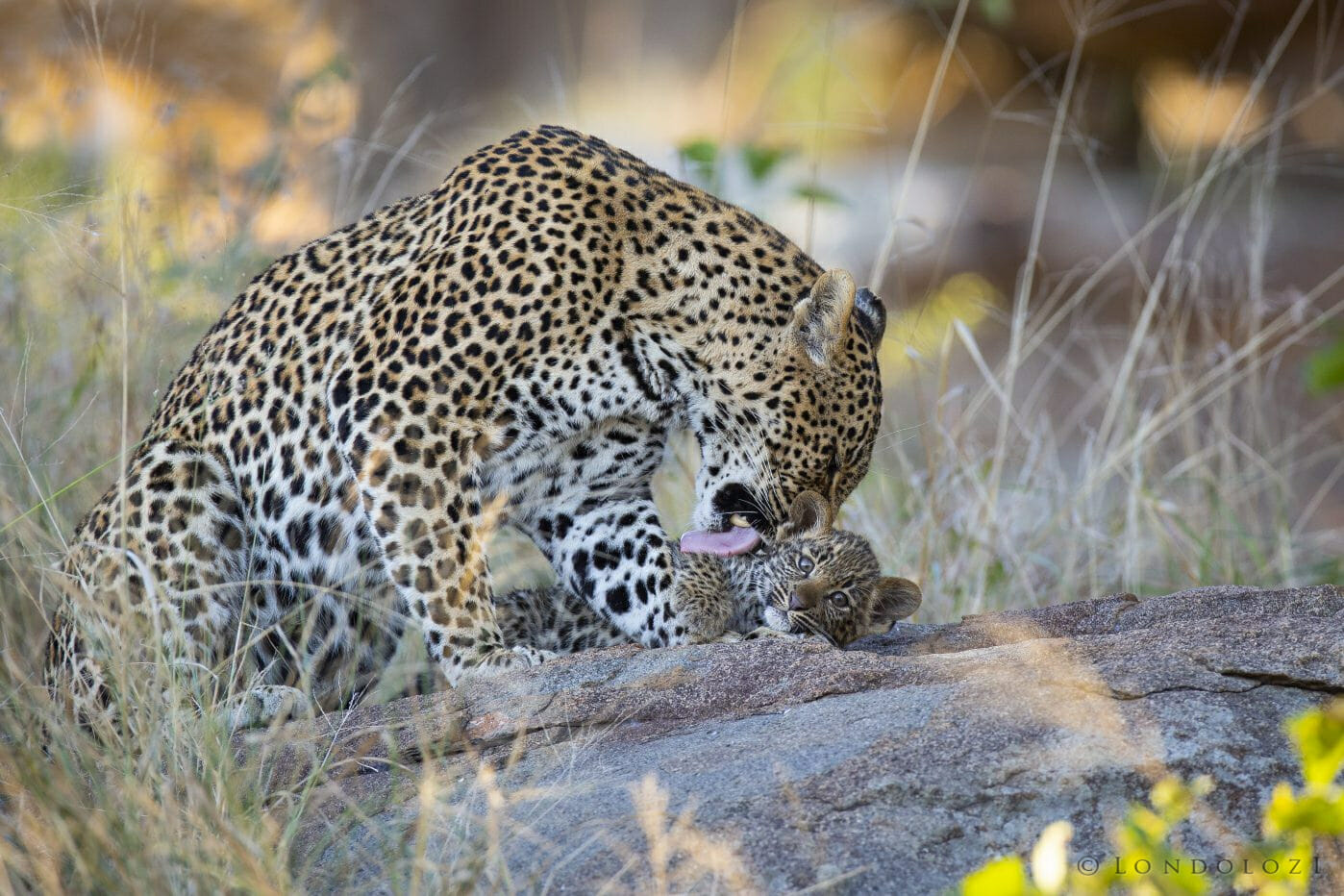 Piccadilly Leopard Cub