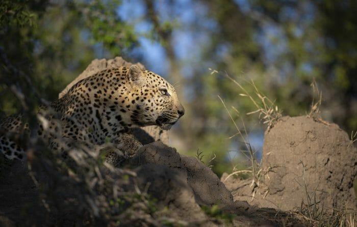 Senegal Bush Leopard