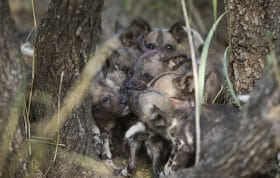 Wild Dog Pups Den 2
