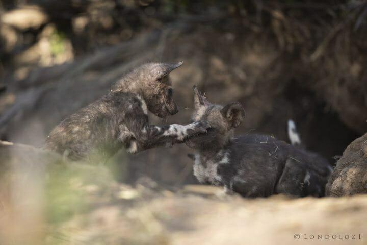 Wild Dog Pups Den 4