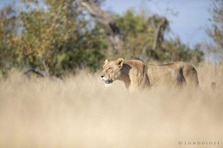 Ntsevu Lioness Grass