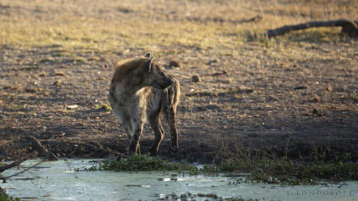 Hyena Drink