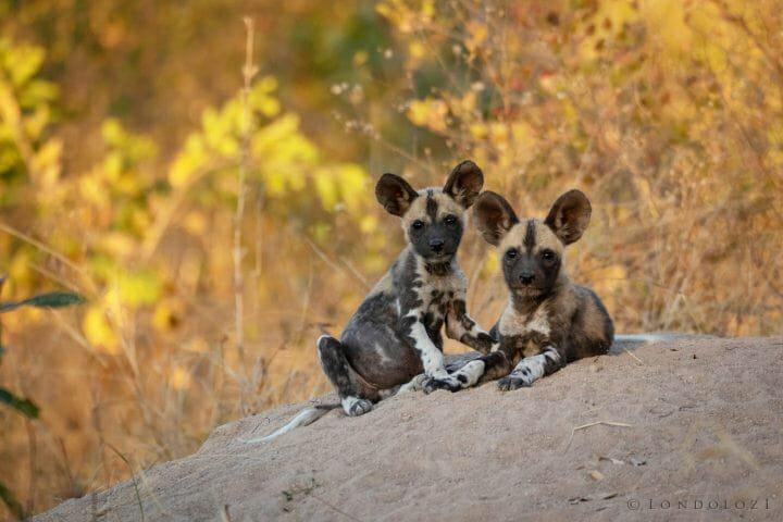 Wild Dog Pups Pt