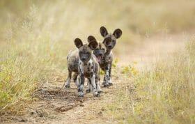 Wild Dog Pups 2