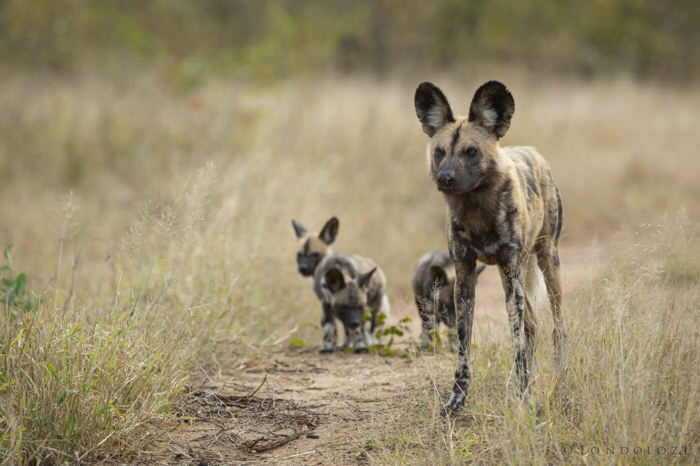 Wild Dog Pups1