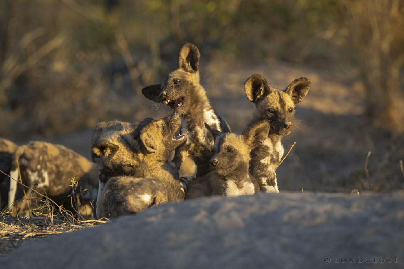 Wild Dog Pups2
