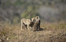 Cheetah 2 3