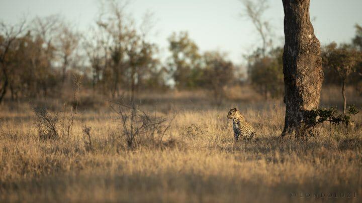 Ntsumi Leopard