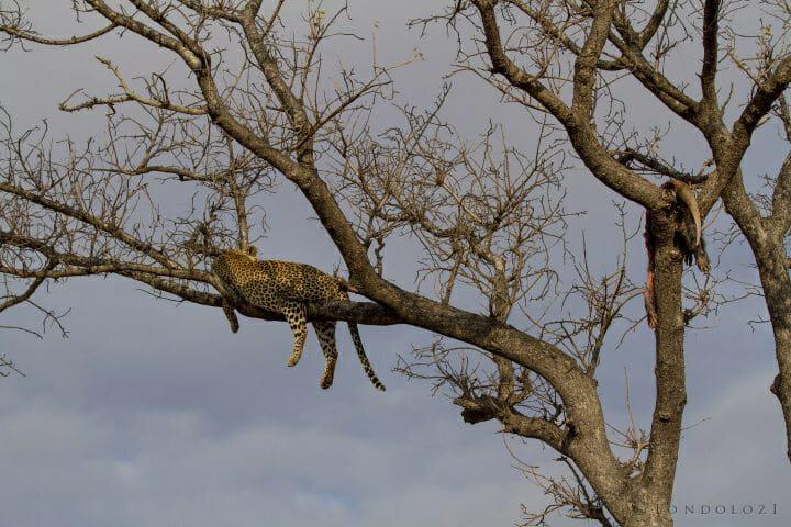 Leopard Aardvark Copy