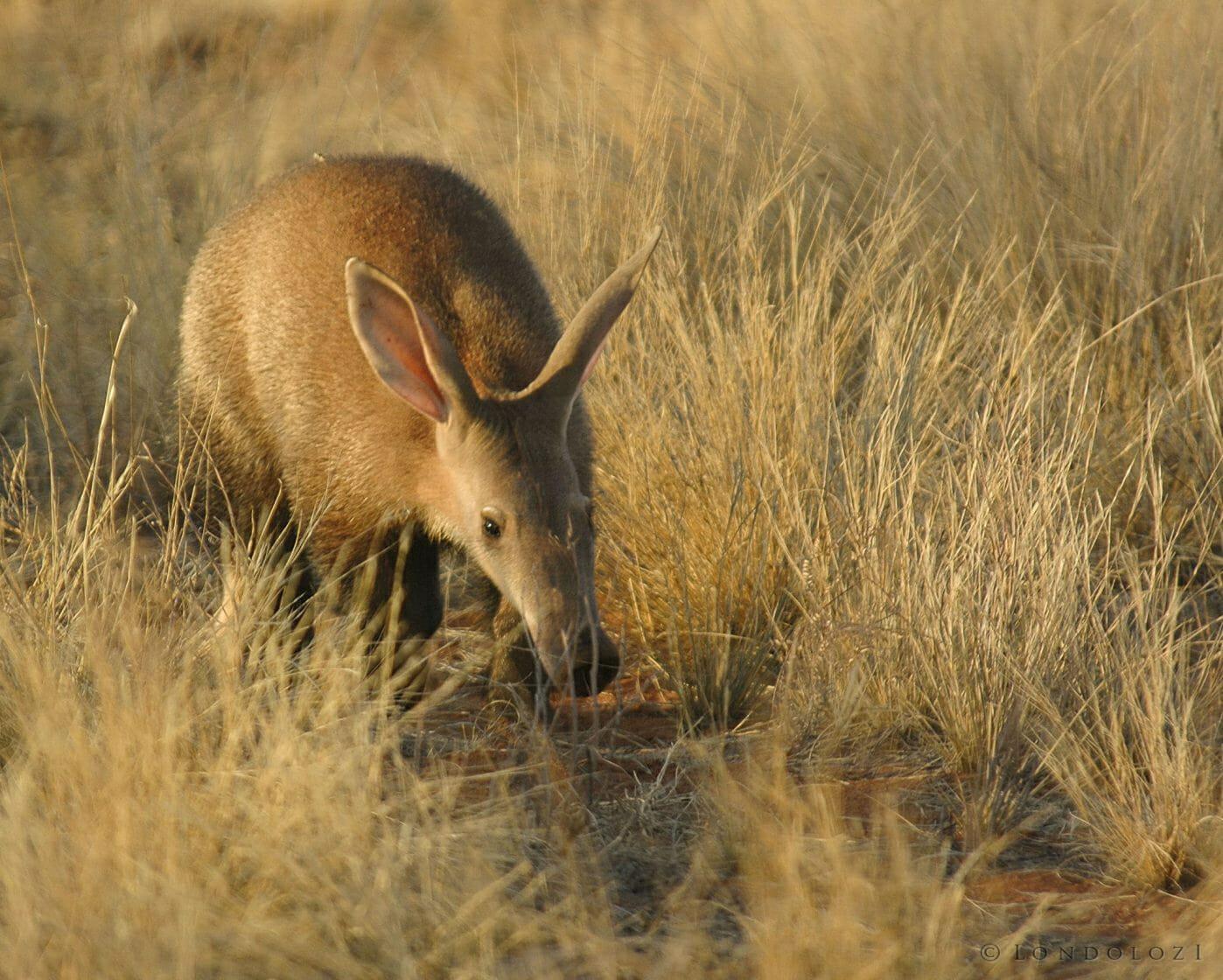 Tswalu Motse Lodge Wildlife Aardvark 01