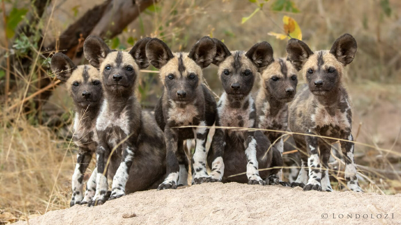Wild Dog Pups Lined Up 5972