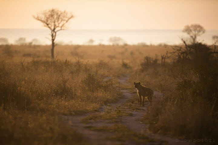 Hyena Backlight