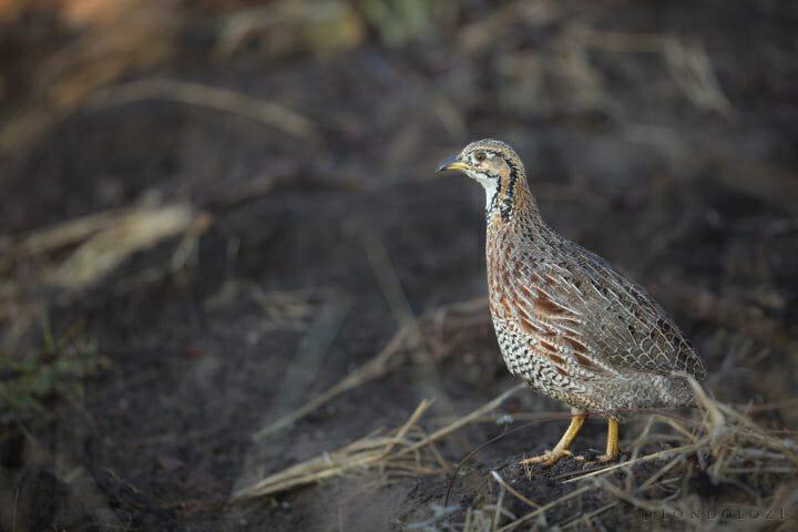 Shelleys Francolin Bird