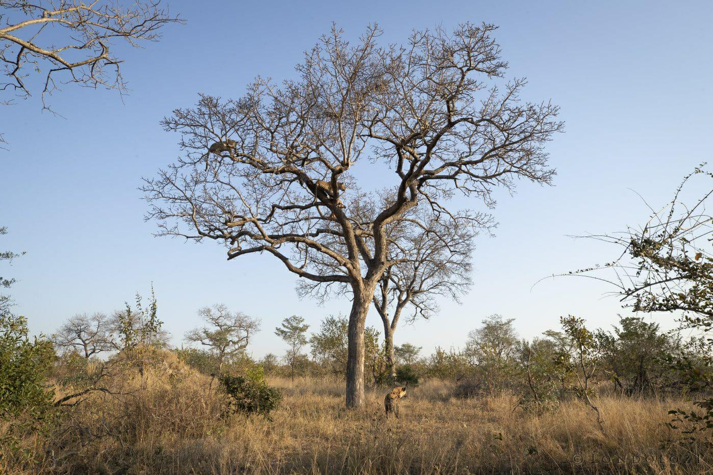 Two Leopards Marula Tree