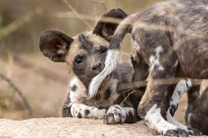 Wild Dog Pup Biting Tail 5991