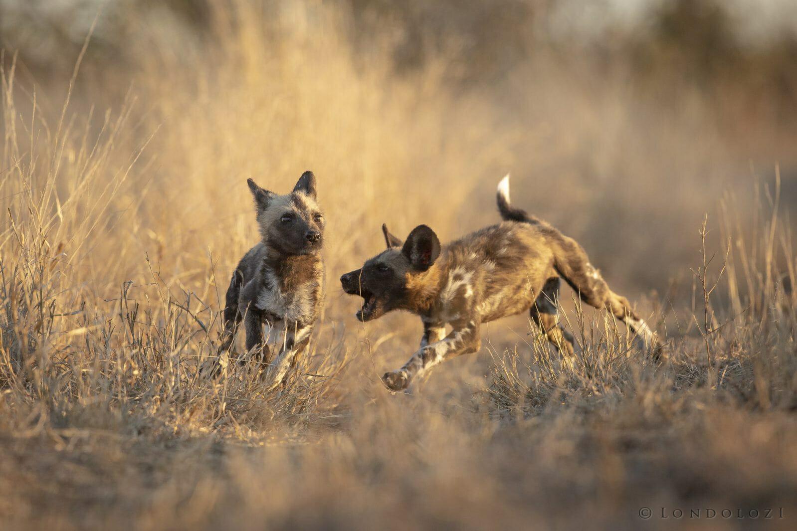 Wild Dog Pup Chase